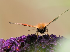 Peacock Butterfly 03 (WestLothian) Tags: nikon d300 nikkor 300mmf28gvr nikkor300mm28 peacock butterfly