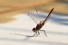 Sympètre Rouge Sang (2) (yom1) Tags: insecte insect sympetre sympetrum sympètre sympètrerougesang libellule dragonfly darter red europe france provencealpescotedazur provence côtedazur var saintemaxime yom1 eos6dmkii 6dmkii ef70300isusm 70300 ef70300usm libellulidae arthropoda hexapoda odonata