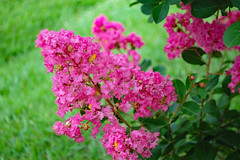 Crape Myrtle And Lawn. (dccradio) Tags: lumberton nc northcarolina robesoncounty outdoor outdoors outside nature natural beauty scenic plant pretty pink flower flowering floral flowers pinkflowers floweringtree crepemyrtle crapemyrtle greenery foliage leaf leaves nikon d40 dslr bloom blooming blossom blossoms bokeh grass lawn yard godscreation godshandiwork