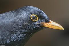 Blackbird (male) (Tenspeed2) Tags: blackbird male