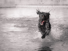Full of happiness (aantwaarpe) Tags: groen hond running waterfun waterpret smileonsaturday blackbeauty challengegamewinner