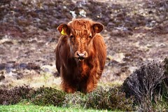 Highland Cow #NC500 (Innesboy) Tags: highlandcow cattle calf nc500 scotland uk andrewinnes walk visitscotland scottishtourism highlands landscape field meadow farm countryside pastoral fields peaceful tranquil grass rural ruralscene pasture domesticanimal farming
