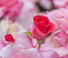 Family of Rose's. (Omygodtom) Tags: abstract flora flower coth8 coth5 contrast tamron composition colorful outside field senery scene scenic existinglight explorer exotic natural nikon