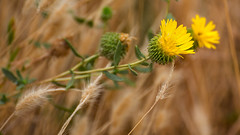 Flowering to the right (Middle aged Nikonite) Tags: yellow bokeh depth field macro close up nikon d750 tamron 70300 california yolo bypass outdoor nature grass flower weed