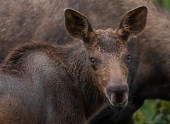 Old Man Whiskers (Amy Hudechek Photography) Tags: moose calf baby young colorado summer wildlife nature amyhudechek nikond500 nikon200500mmf56