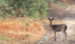 Deelerwoud, Veluwe, Hinde (rvisser_1) Tags: deelerwoud hert dieren geit hinde veluwe damhert