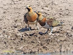 Ganga ibérica  (Pterocles alchata) (7) (eb3alfmiguel) Tags: aves pteroclidiformes pteroclidae ganga ibérica pterocles alchata roca hierba pájaro animal suelo
