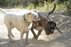 Crazy FUN pair (Painful, slow internet:() Tags: boxer dog play littledoglaughedstories