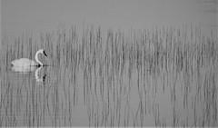 IMG_1593 (www.ilkkajukarainen.fi) Tags: blackandwhite mustavalkoinen monochrome kuusamo lapland joutsen svan ruohikko vesi water kesä 2018 summer visit travel traveling matkailu kotimaan suomi finland eu europa scandinavia luonto nature birds lintu linnut kyhmyjoutsen