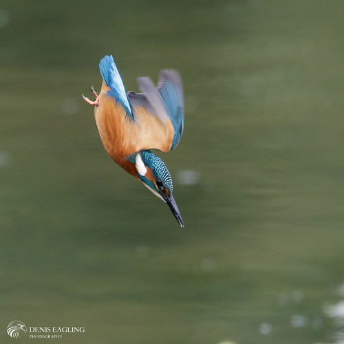 Kingfisher - juv male