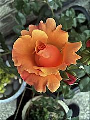 Rose blooming (brianarchie65) Tags: rose garden mygarden kingstonuponhull cityofculture ngc flowers orange unlimitedphotos flickrunofficial flickruk flickr flickrcentral flickrinternational ukflickr iphonese geotagged brianarchie65 plants roses