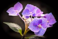 Hydrangea (Jez22) Tags: hydrangea flower copyright jeremysage mauve purple blue colour handheld plant nature floral background beautiful flora flowers leaf color colorful natural hortensia pink violet bloom vibrant