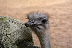 ostrich (2) (_wil87) Tags: d7100 zoo park ostrich autruche