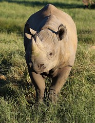 Me? A poser? Noooooo... (joannekerry) Tags: rhinoceros blackrhino rhino yorkshirewildlifepark canon