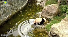 2018_08-19i (gkoo19681) Tags: beibei chubbycubby fuzzywuzzy adorableears pond toocold retreat toocute sillygoober beingadorable takingadip darling precious amazing ccncby nationalzoo