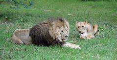 King Of The Jungle (studogs30) Tags: longleat africanlion pantheraleo bigcats
