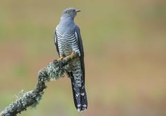 Cuckoo (Cuculus canorus). (Bob Eade) Tags: cuckoo cuculuscanorus hampshire avian bird heathland spring nature wildlife fauna nikon d810