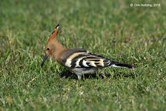 Juvenile Hoopoe 218434gb (Dirk Huitzing) Tags: hop eurasianhoopoe upupaepops costabrava