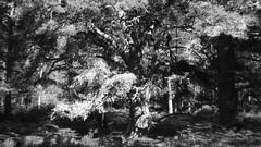 Black Woods of Rannoch 4 (ShinyPhotoScotland) Tags: perthshire scotland landscape blackandwhite rannoch highlands nature trees birch pine fujixt20 hdr light dark contrast relax flora intimatelandscape rawtherapee helios58mm lens scotspine pinussylvestris blur art caledonianforestremnant blackwoodsofrannoch ranncoh