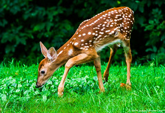 2018.07.31.1413 Fawn (Brunswick Forge) Tags: 2018 virginia grouped deer fawn woods trees wildlife nature animal animals animalportraits outdoor outdoors nikond500 summer favorited commented
