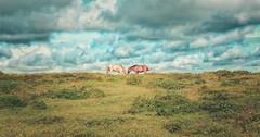 CABALLO (Isai Hernandez) Tags: caballo caballos horse clouds green photography sky field