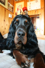 Shaggie 124 (reimo.zoober) Tags: gordon setter dog