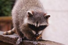 Rocket (Tjflex2) Tags: raccoon rocket wildlife animal