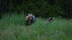 bears and lions (RhinoSkin) Tags: grizzlymama cub dandelions