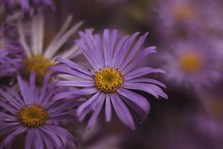 Purple 🌸