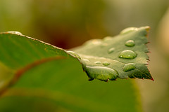 After the Wash (LadyBMerritt) Tags: leaf rose ridges water drop garden plant rain green red