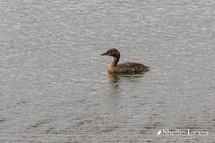 Lake Tutira, Hawkes Bay (flyingkiwigirl) Tags: aircurtain bird boundarystream camp family hawkesbay lake laketutira lakewaikopiro napier opouhai quality walk water dabchicks nz grebe weweia
