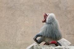Whoopee Cushion... (RALPHKE) Tags: hamadryasbaboon papiohamadryas baboon mantelbaviaan aap monkey baviaan dier dieren animals wildlandsadventurezooemmen wildlands netherlands nederland zoo emmen whoopeecushion drenthe travel