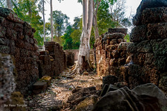 Tree Growing between the Degraded Walls of Ta Prohm Temple, Cambodia-49a (Yasu Torigoe) Tags: sony a99ii a99m2 sonyilca99m2 siemreap siem reap angkor archeological archeology park history ancient architecture temple religion religious buddhism buddhist buddha historical ta prohm taprohm jungle trees tree tombraider banyan tomb crypt laracroft lara croft suryavarman vishnu stonework buildings surreal sculpture structure deityroots landscape overgrown vines art theravada photograph photography dynamic travel asia cambodia southeast deity ruins khmer roots