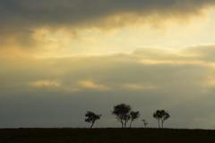 MoorlandCopse (Tony Tooth) Tags: nikon d7100 nikkor 55300mm trees silhouette skyline copse sky cloud moors moorland staffordshiremoorlands upperelkstone staffs staffordshire