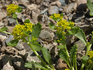yellow peppercress, Lepidium flavum