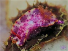 Nudibranch (Hypselodoris aff. iacula) (Brian Mayes) Tags: 1991 southbank muara brunei nudibranch thorunnasp sp3peripnss underwater scuba diving canon g16 canong16 brianmayes