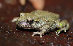 Midwife toad (1V4A4718) (shelleyK2) Tags: amphibian toad nature macro canoneos7dmarkii midwifetoad animal tamron