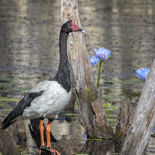 a magpie goose