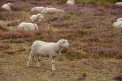 The Guardian Sheep (Johan Moerbeek) Tags: sheep weide heide schoorl schoorlseduinen noordholland duinen