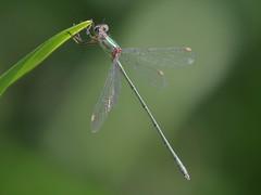 J18_2135 Chalcolestes viridis male (jccurd) Tags: wildlife nature odonata damselfly damselflies