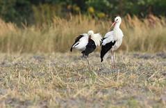 Storks (fotografia.KarolinaKwiatkowska) Tags: storks stork bird birds ptaki ptak poland polen polska mazury masuria mazurycudnatury mazurymojamilosc masuren mazurskaprzyroda