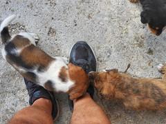 cute and playful puppies (panoskaralis) Tags: dogs puppies cute animals pets shoes nature outdoor nikon nikoncoolpixb700