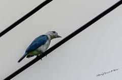 Stop That Shooting!!! (melvhsc100) Tags: bird kingfisher whitethrottedkingfisher nature wildlife sky telephotolens oddlook funny singaporenicescenery angrybird nikon7200 tamron150600mm