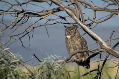 Great Horned Owl (Jon David Nelson) Tags: greathornedowl bubovirginianus owls wildlife highdesert sagebrushsteppe sagebrushsea oregonhighdesert