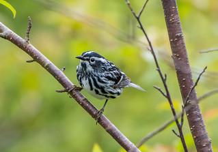 Black-and-white Warbler , Bidgood's Park