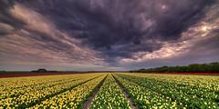 The meek shall inherit zilch. (Alex-de-Haas) Tags: 11mm adobe blackstone d850 dutch hdr holland irix irix11mm irixblackstone lightroom nederland nederlands netherlands nikon nikond850 noordholland photomatix photomatixpro beautiful beauty bloem bloemen bloementeelt bloemenvelden cloud clouds cloudscape drama dramatic floriculture flower flowerfields flowers landscape landschaft landschap lente lucht mooi nature natuur polder skies sky skyscape spectaculair spectacular spring sun sundown sunset tulip tulips tulp tulpen wolk wolken zonsondergang