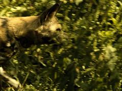 _1240156 (wiccan_two) Tags: wildlife portlympne conservation kent animal animals wild africanwilddog dog african