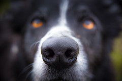 The Sniffer Tool (JJFET) Tags: border collie dog dogs sheepdog herding