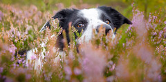 Being noticed (JJFET) Tags: border collie dog dogs sheepdog herding