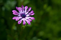 Cape Daisy (pstenzel71) Tags: blumen natur pflanzen capedaisy kapkörchen osteospermum darktable flower bokeh
